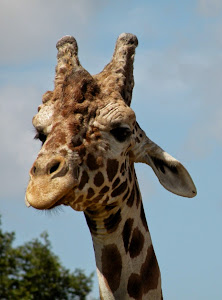 A Face Only a Mother Giraffe (and I)  Could Love