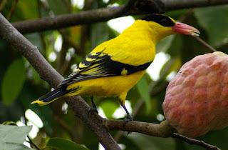 burung-kepodang_326544