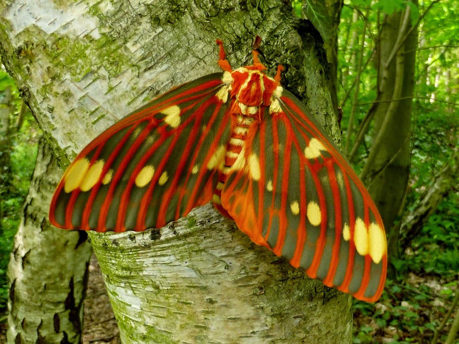 Citheronia regalis female