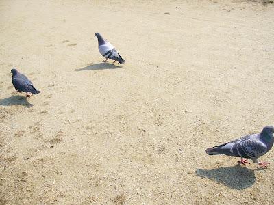 兵庫県・伊丹市 緑ヶ丘公園のハト