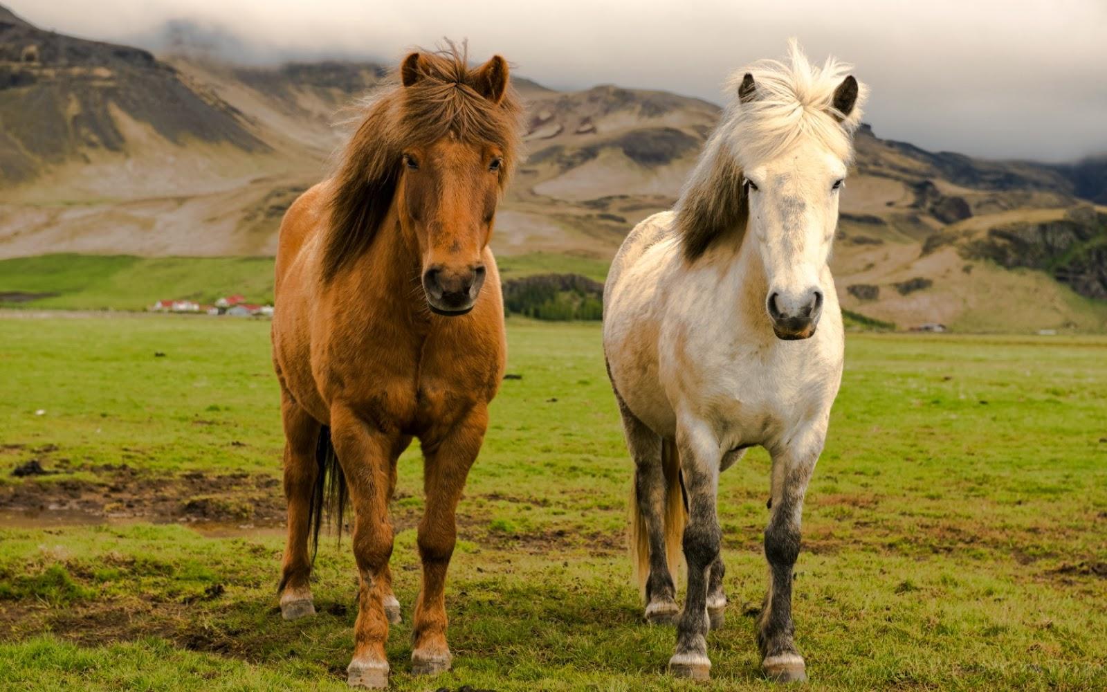 bellos caballos en la granja