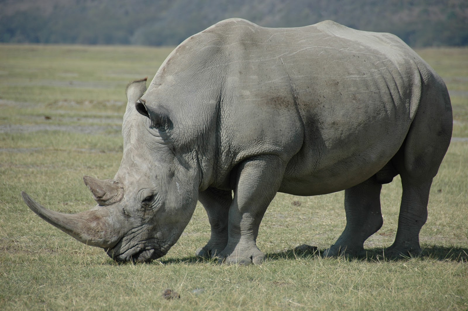 white rhino - photo #3