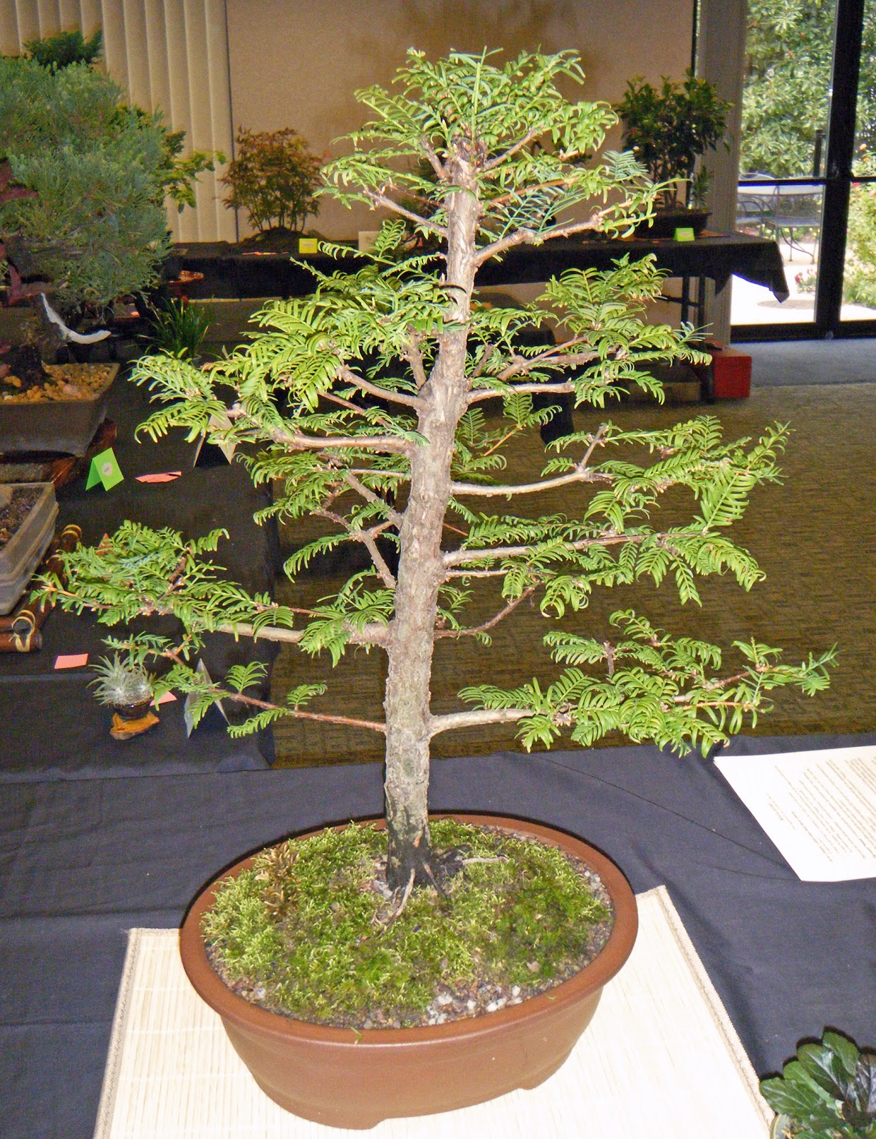 Bonsai In Hoosierland Ft Wayne Bonsai Club Fall 2012 Show