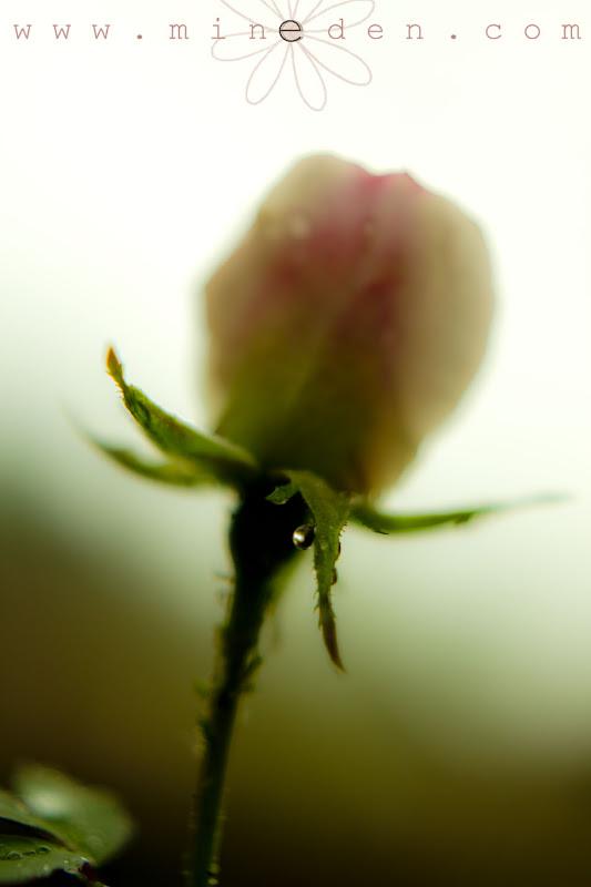 Rosa Morden Blush