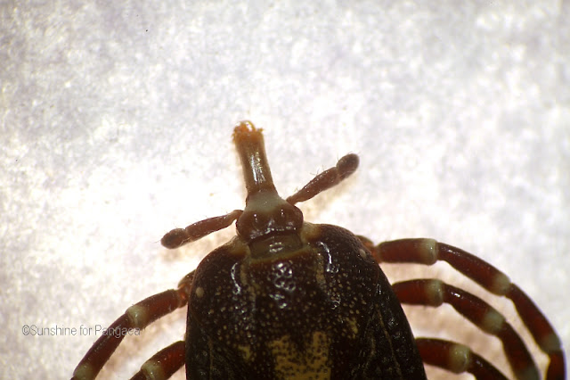 Head of a tick under the microscope