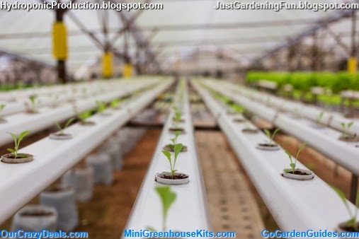 Hydroponics Vegetable in Green House Picture