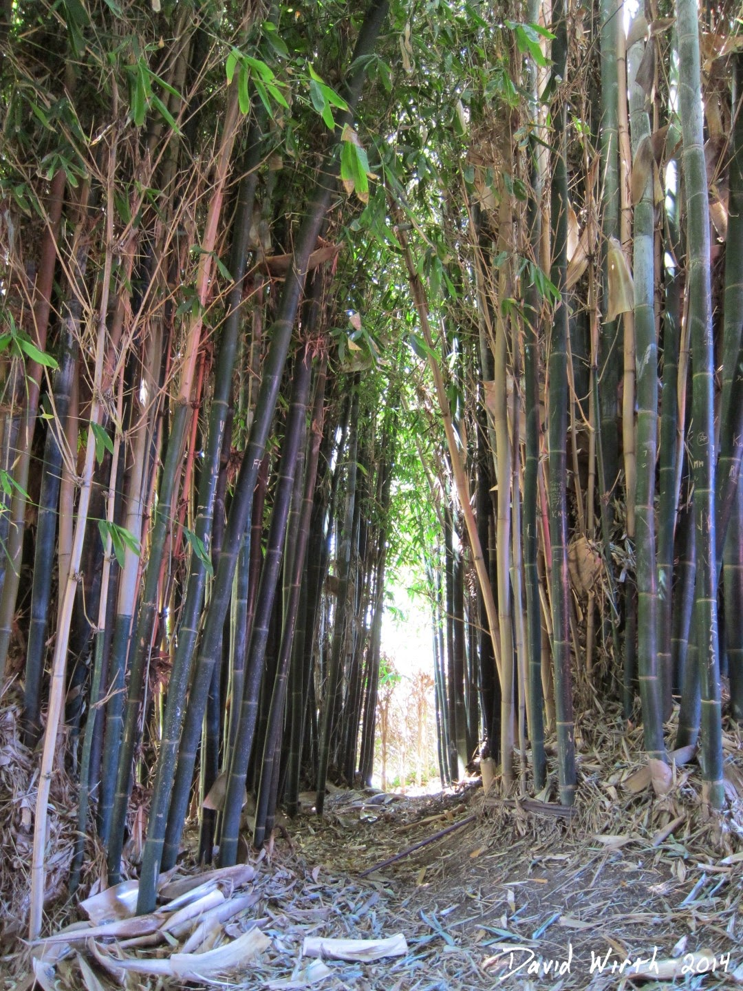 california moso bamboo