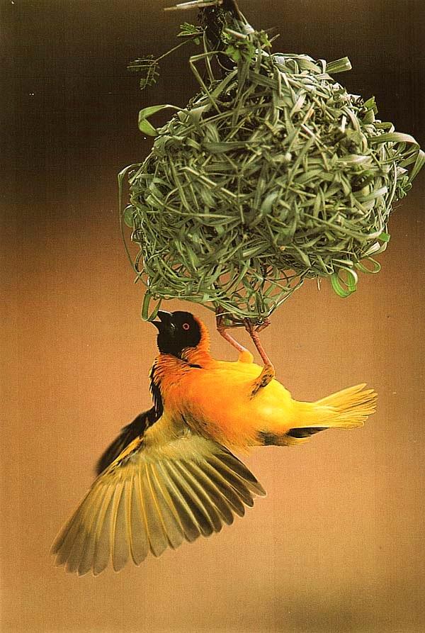 Ткачик, висящий под гнездом