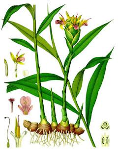 Botanical Print Ginger Plant