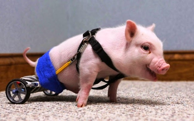 #1. An adorable piglet was born without being able to use his back legs. Someone made him a nifty wheelchair using some K'Nex Toys. - 24 Happy Animal Photos Made Possible By The People Who Saved Them.