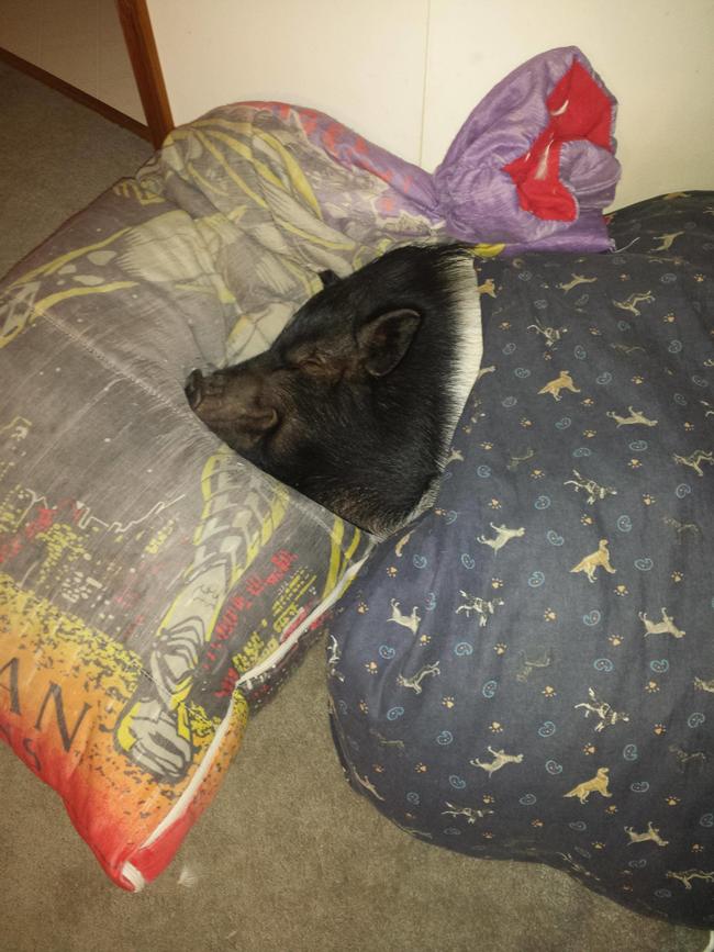 cerdos de mascota
