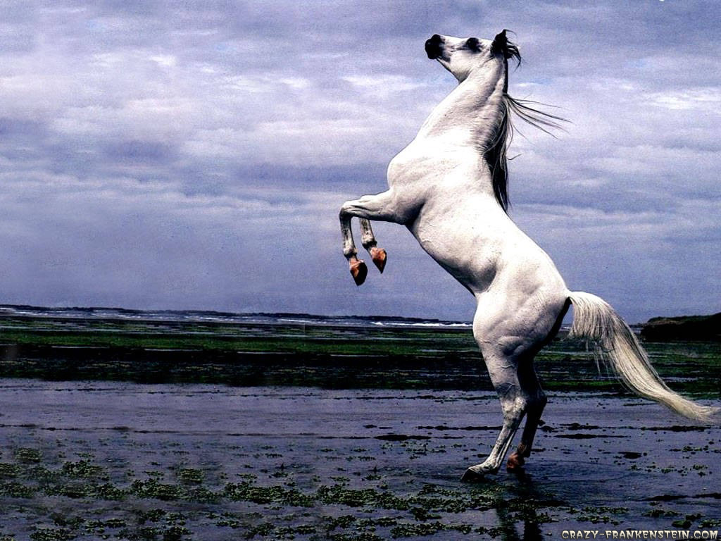 Http Okaywallpaper Blogspot Com 2012 09 White Arabian Stallion Horse Stand Up Html