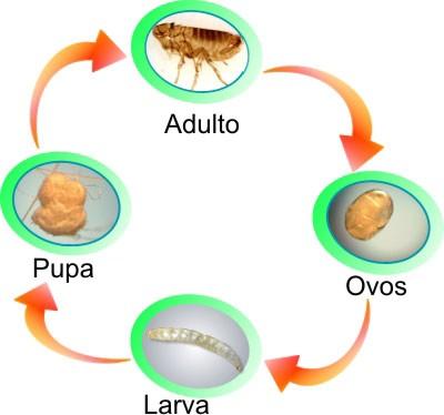 Resultado de imagem para fases da pulga