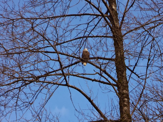 Bald eagle in a tree, Brackendale, BC