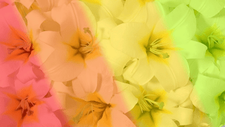 Flores com Filtro 4 cores 16x9_desfocagem gausiana 42_diagonal