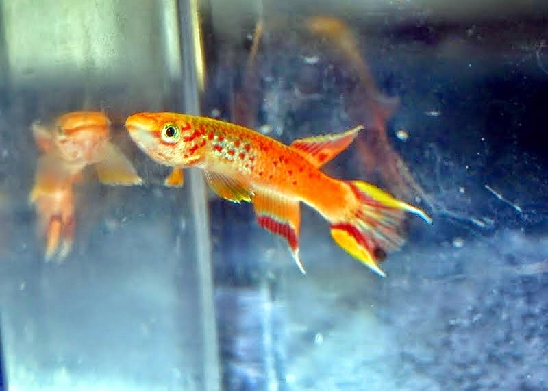 ... FREE CLASSIFIEDS: Bluefin killifish, Rachows Notho, Rainbow Notho