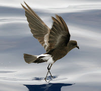 Storm Petrels Near Genovesa Galapagos Islands