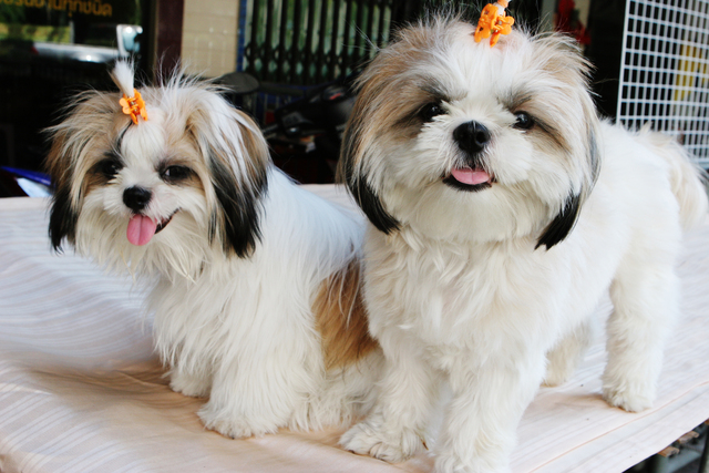 Cute And Funny Shih Tzu Puppies