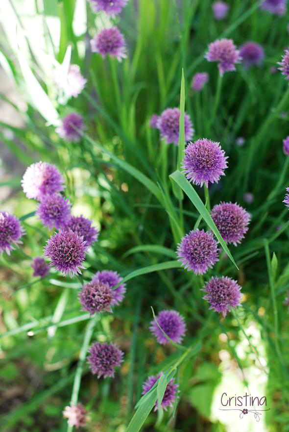 cebollino ene flor
