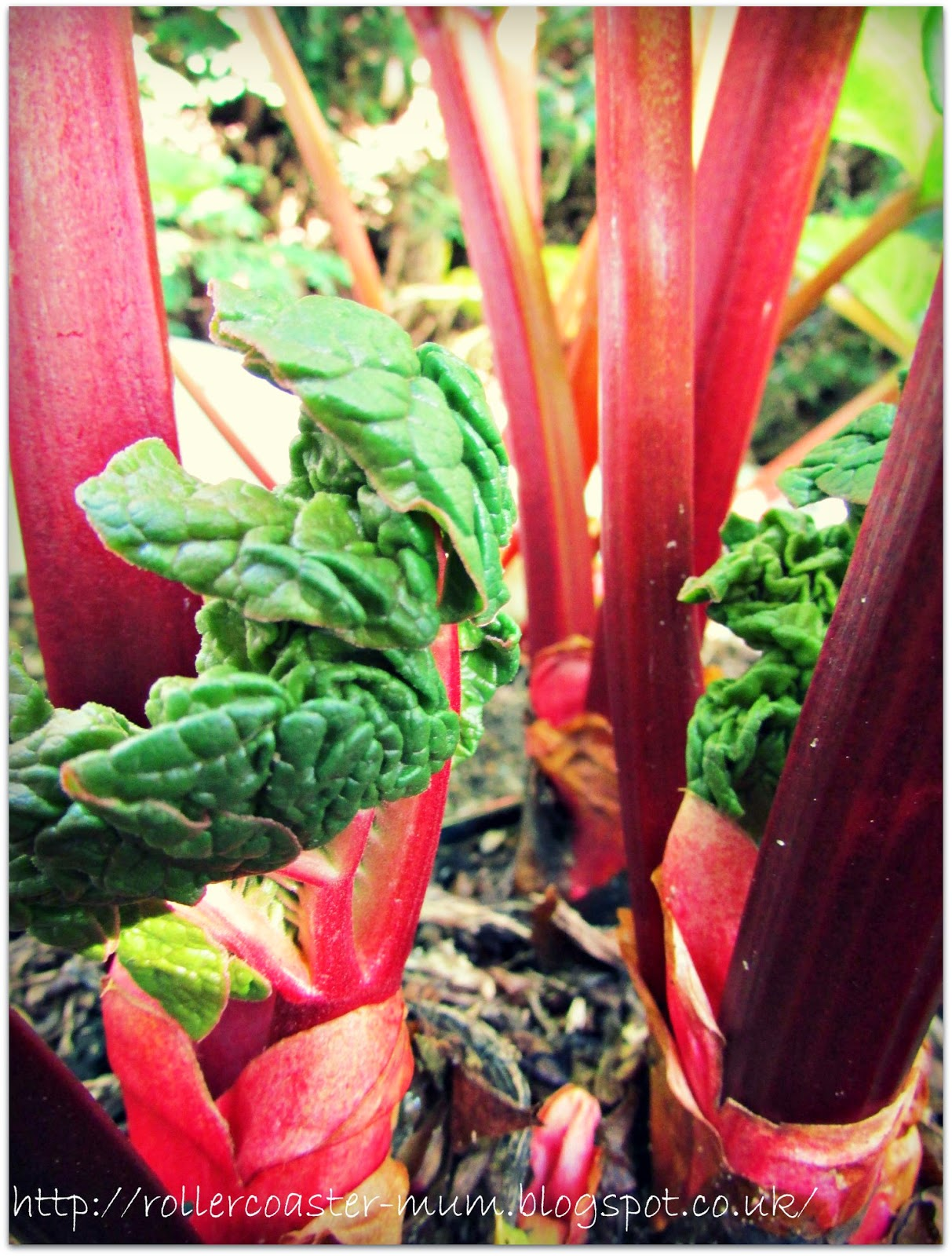 red rhubarb stalks ready to pick