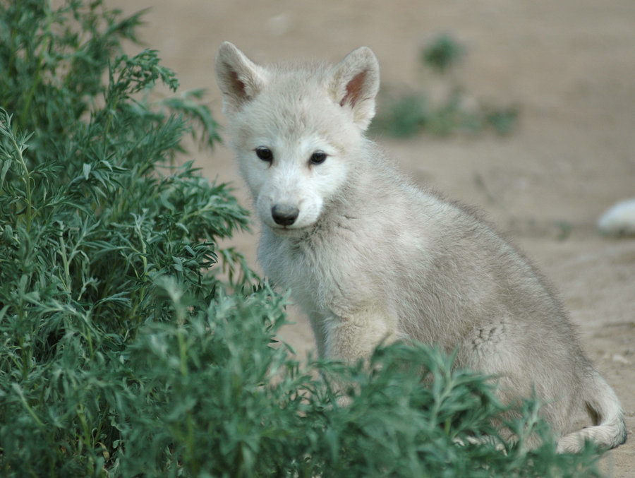 Cute white wolf pup with blue eyes - photo#24
