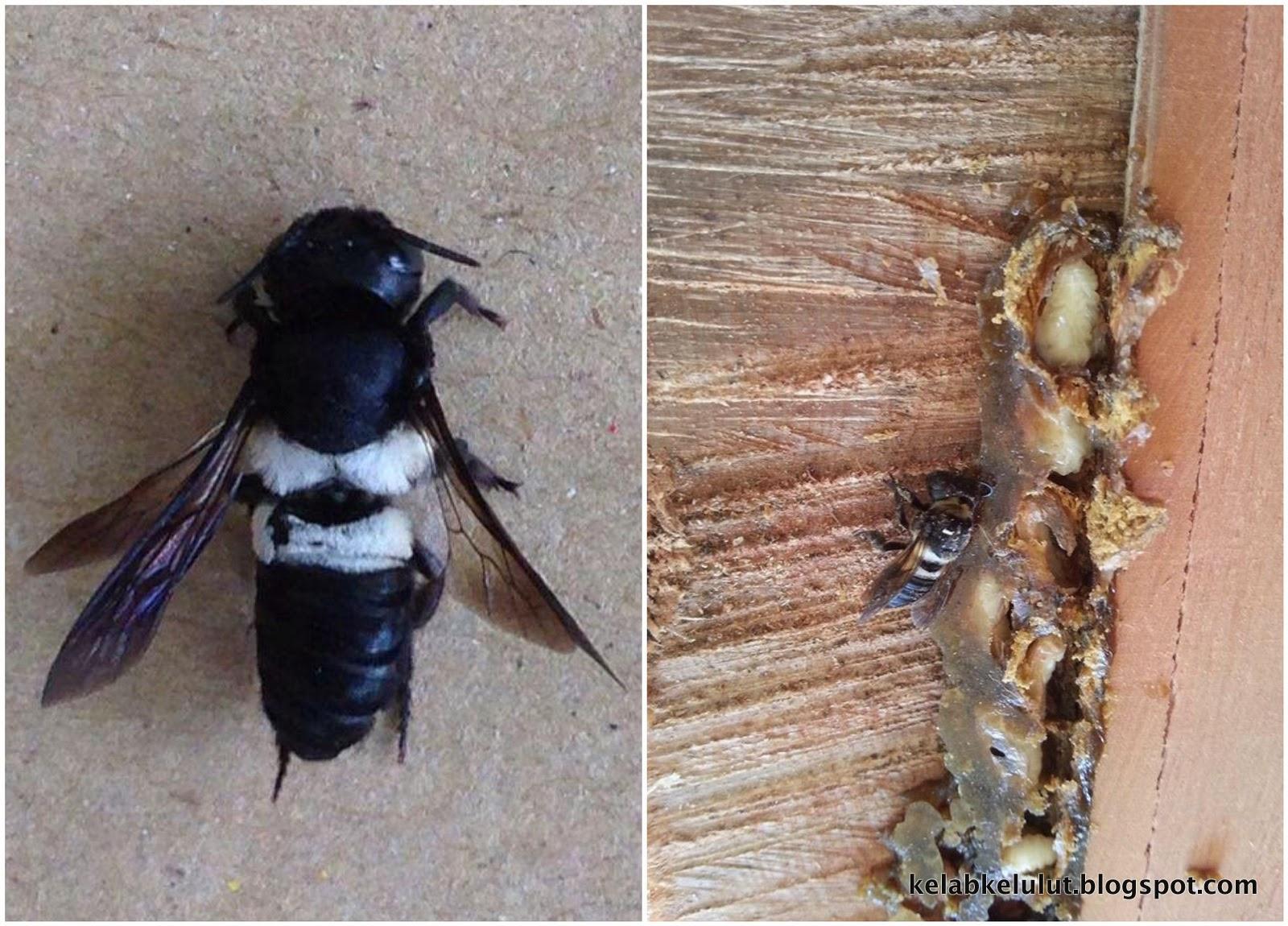 Lebah Perut Putih Lebah Tapir