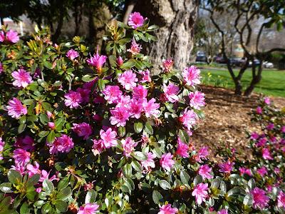 Rhododendron sp. (Azalea)