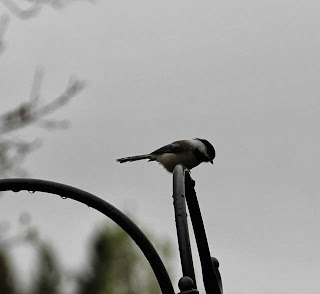 chickadee contemplating feeder