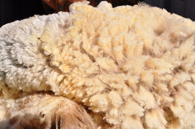 Perspectives on ranching: This wool has a story…