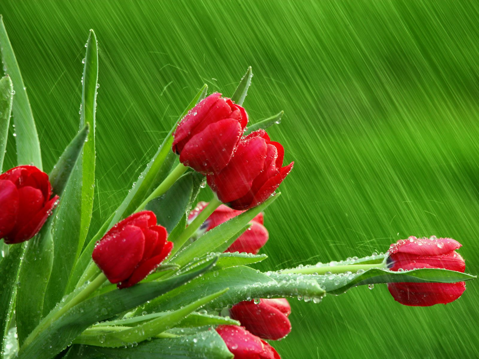Red Tulips Flowers Wallpapers