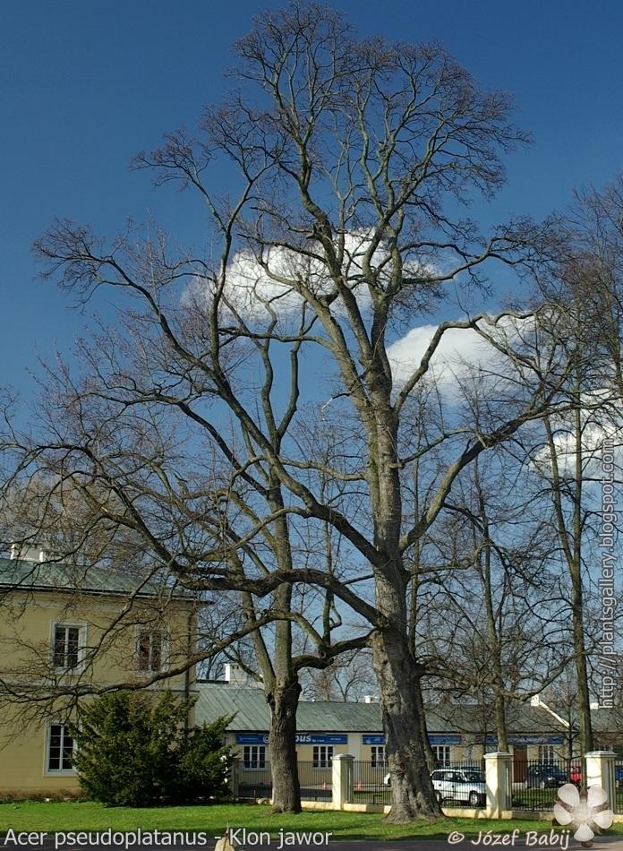 Acer pseudoplatanus - Klon jawor pokrój