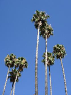 Palmier washingtonia robusta flore de l le de la r union for Maladie palmier interieur