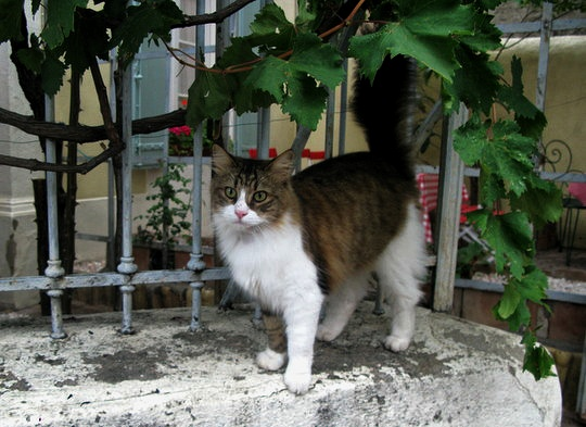 Cat from Cucugnan, France
