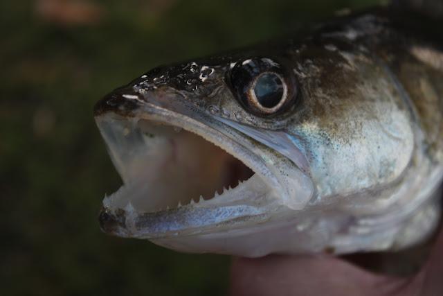 Pohjaonginta täkykalalla koitui tämän kuhan kohtaloksi.
