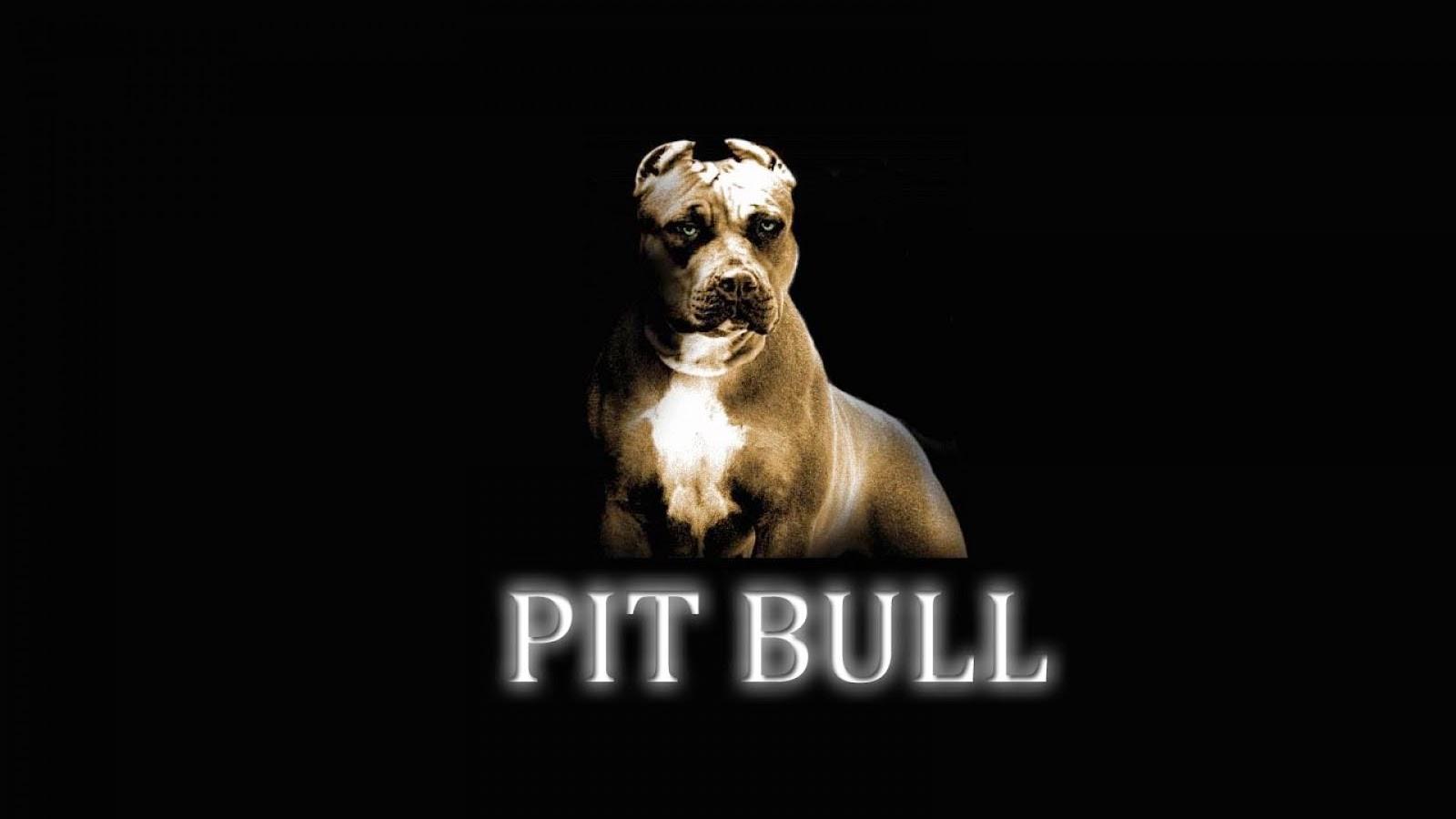 pitbull dog hd wallpaper free download