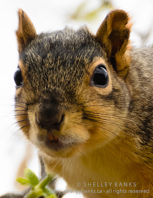 Fox Squirrel in Regina, SK: photo © Shelley Banks