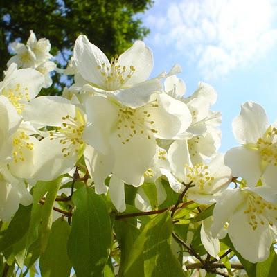 Koleksi Gambar Bunga Melati