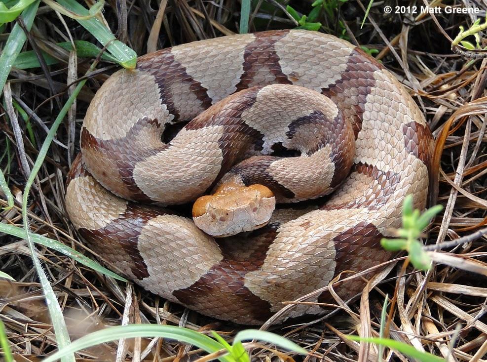 Cottonmouth Snake Bite On Human | www.pixshark.com ...