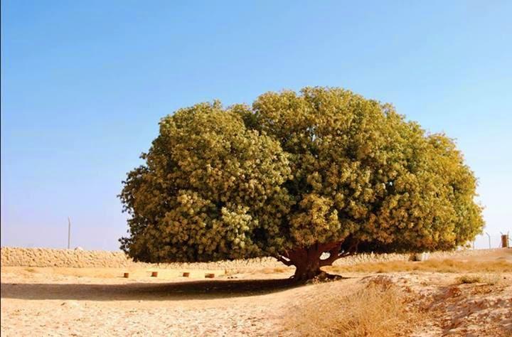 Pohon Tempat Nabi Sering Berteduh, Masih Hidup Hingga Sekarang