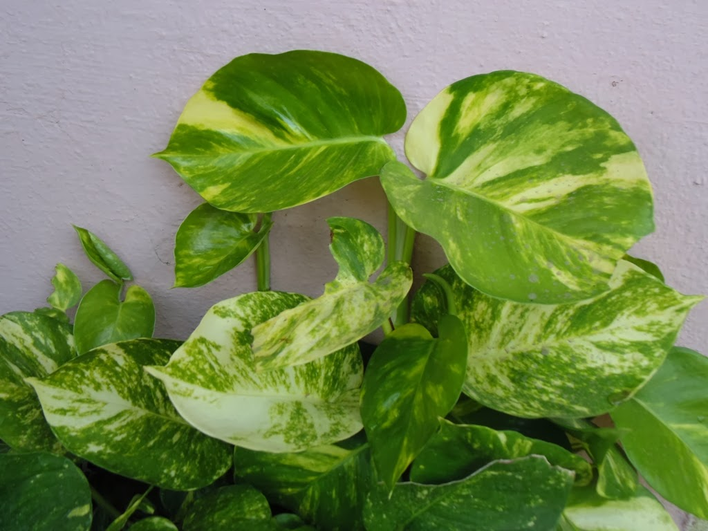 How to Care for Money Plant Indoors