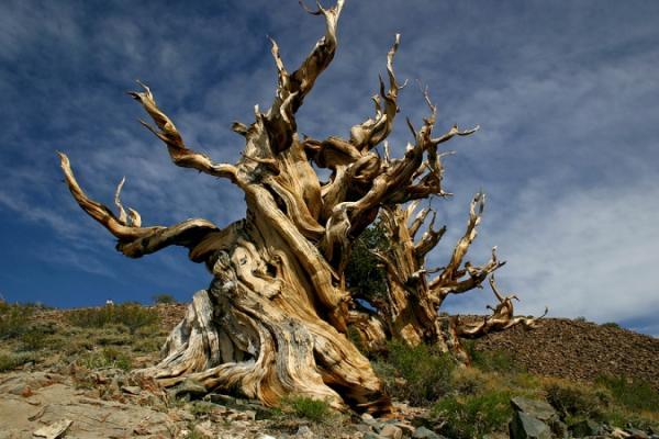 عينات '' لاقدم شجرة'' في العالم بالصور 18_bristlecone.img_assist_custom-600x400