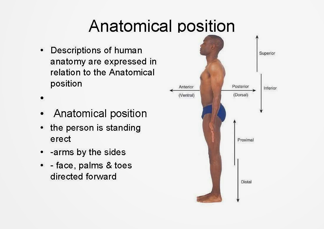 What does ventral mean in anatomy 8859685 - follow4more.info