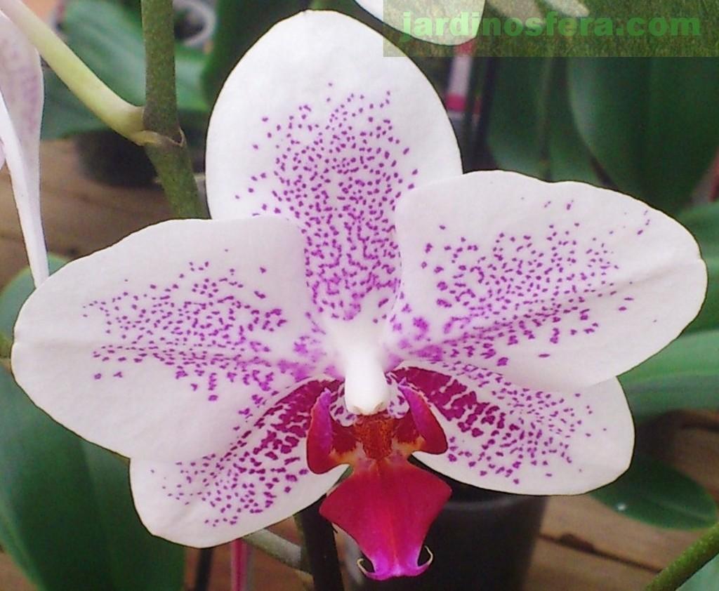orquideas mariposa cuidados On cuidado de las orquideas moradas