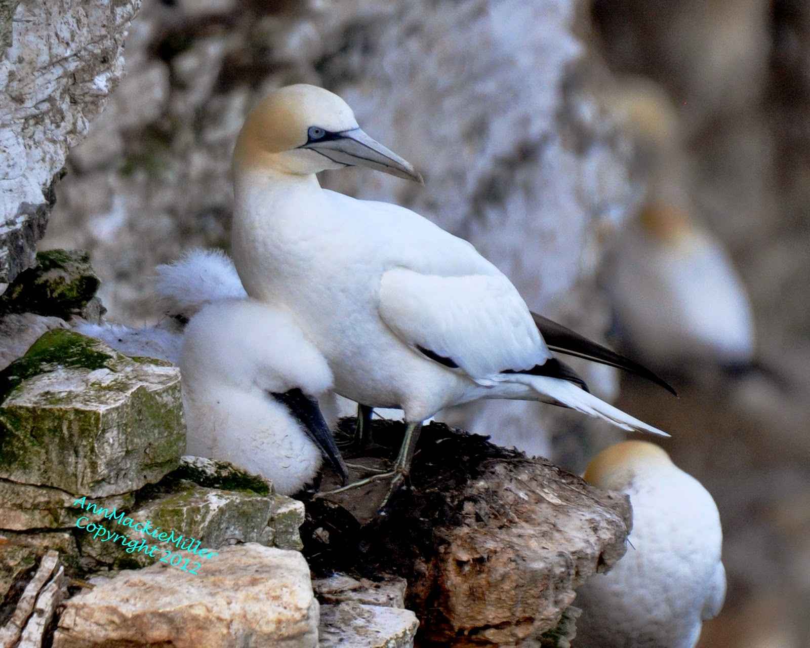 Adult Gannet and Gannet Chick on Cliff Nest