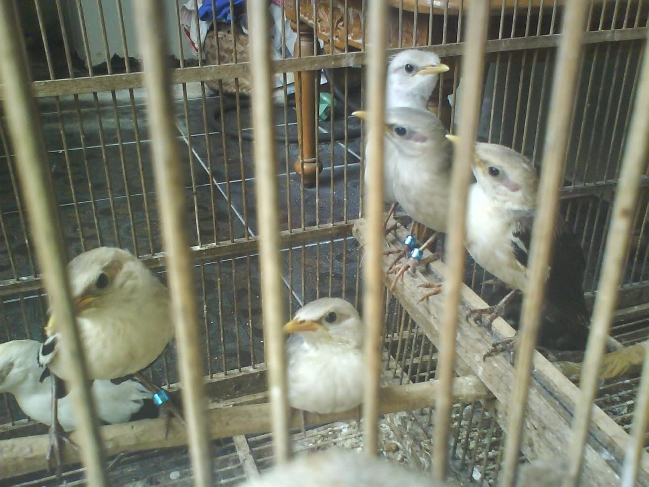 http://tipspetani.blogspot.com/2014/12/gambar-anakan-jalak-putih-berusia-2.html