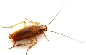 Cucaracha Alemana o Germánica