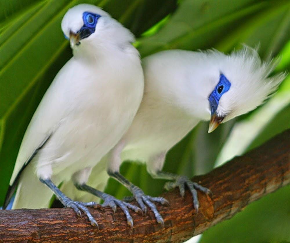 Gambar Cara Merawat Burung Jalak Bali