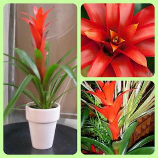 Plantas para dentro de casa - Bromélia GusmÂnia