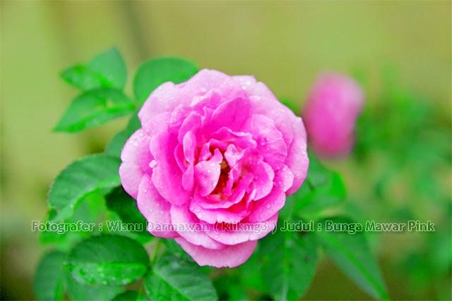 Judul Foto : Bunga Mawar Pink| Digital Album Foto : Bunga Mawar Pink | Fotografer : Klikmg3 ( Wisnu Darmawan )