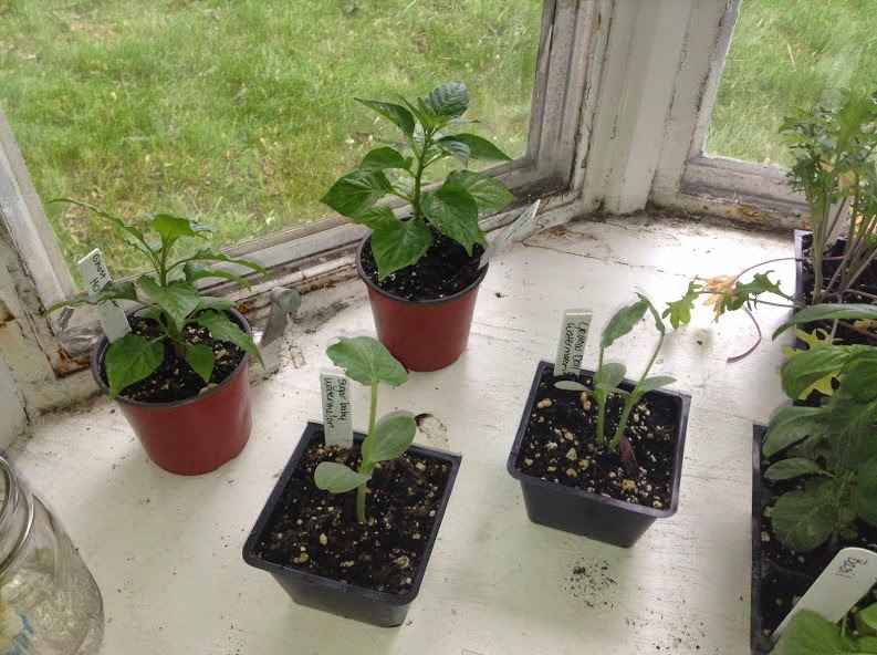 Ghost Pepper Plants, Sugar Baby Watermelon Plant & Yellow Doll Watermelon Plant